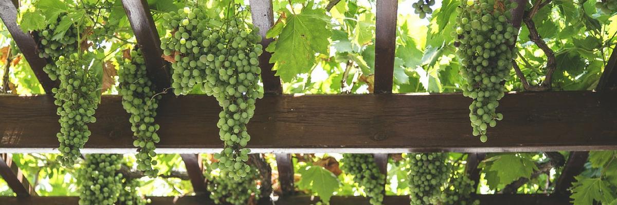 Página web para bodega - foto uvas